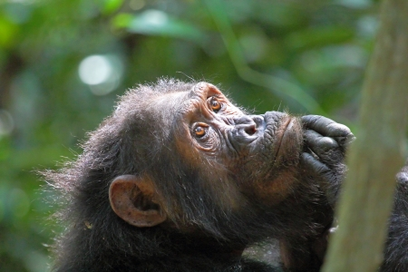 Portrait of a thoughtful female chimpanzee (Pan troglodytes) in Gombe Stream National Park, Tanzania