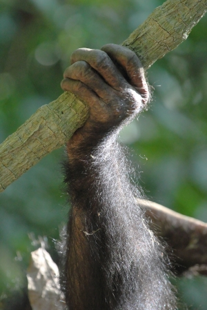 Closeup of the arm of a young chimpanzee (Pan troglodytes) Stock Photo - 22865686