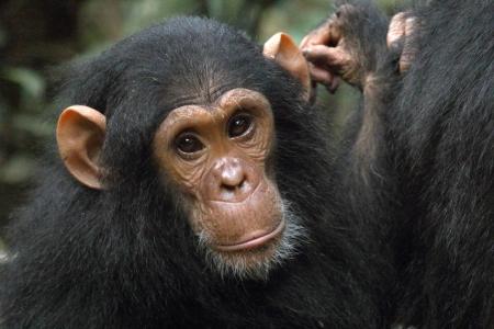chimp: Portrait of a young chimpanzee (Pan troglodytes)