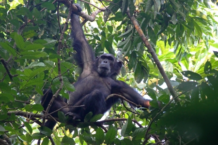clinging: Male chimpanzee (Pan troglodytes) clinging to a tree in Gombe Stream National Park, Tanzania