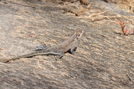 mwanza: A female Red-headed Rock Agama (Agama Agama) in Serengeti National Park, Tanzania