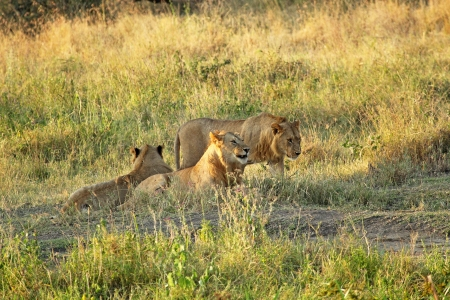 Group of young male lions (Panthera Leo) resting at the shadow of a tree in Serengeti National Park, Tanzania photo