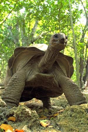large turtle: An Aldabra giant tortoise (Aldabrachelys gigantea) from the bottom, in a forest in Zanzibar Island, Tanzania