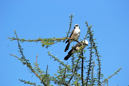northern african: Couple of Northern White-crowned Shrike, or White-rumped Shrike, (Eurocephalus rueppelli) perched on an acacia tree
