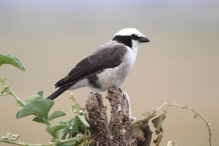 northern african: A Northern White-crowned Shrike, or White-rumped Shrike, (Eurocephalus rueppelli) perched on a branch