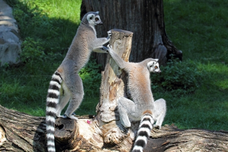 Two ring-tailed lemurs (Lemur catta) standing on a log photo