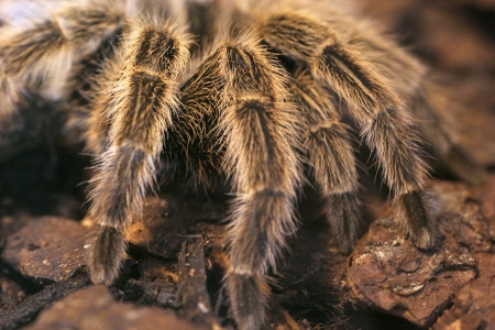 hairy closeup: Closeup of four hairy legs of a giant tarantula Stock Photo