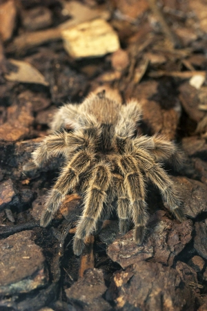 A giant tarantula crawling Stock Photo