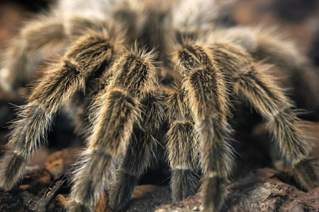 hairy legs: Closeup of four hairy legs of a giant tarantula from the front Stock Photo