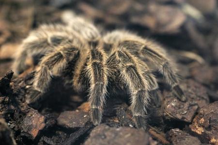 hairy legs: Closeup of hairy legs of a giant tarantula Stock Photo