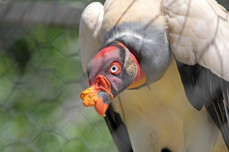 caruncle: A King Vulture (Sarcoramphus papa) with the characteristic yellow fleshy caruncle on its beak, in captivity