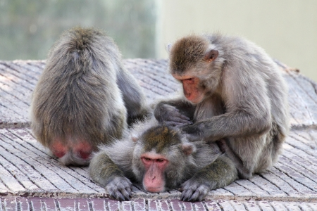 A group of Japanese macaques monkey (Macaca fuscata) grooming and relaxing