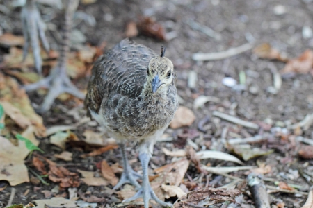 pavo: A juvenile peafowl chick (Pavo cristatus) walking