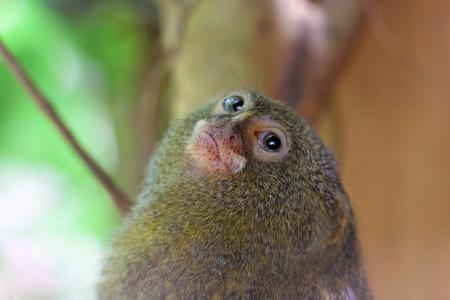 marmoset: Portrait of a pygmy marmoset (Cebuella pygmaea)