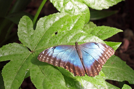dorsal: Dorsal view of a metallic blue butterfly on a leaf