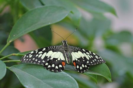 dorsal: Vista dorsal de una mariposa en blanco y negro de la fruta c�trica Swallowtail en una hoja Foto de archivo