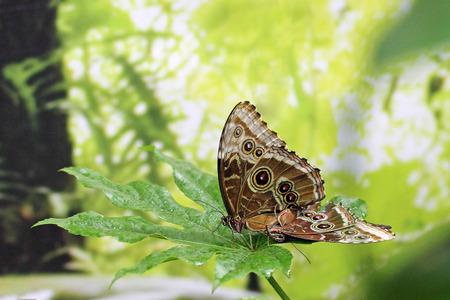 Two owl butterflies (Caligo memnon) on a leaf
