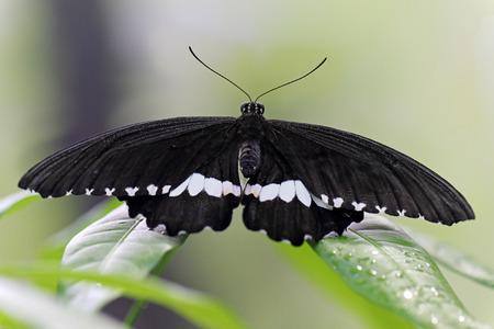 dorsal: Vista dorsal de una mariposa en blanco y negro en una hoja Foto de archivo