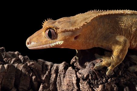 crested gecko: Side view of a new Caledonian crested gecko (Rhacodactylus ciliatus) on a branch