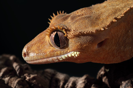 crested gecko: Closeup of an orange new Caledonian crested gecko (Rhacodactylus ciliatus)