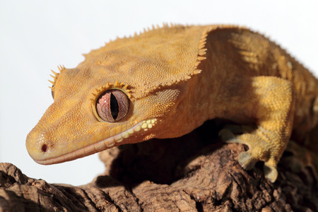 crested gecko: Closeup of a new Caledonian crested gecko (Rhacodactylus ciliatus) on white