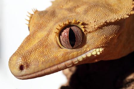 Closeup of a new Caledonian crested gecko (Rhacodactylus ciliatus) on white
