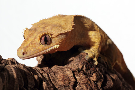 crested gecko: Portrait of a new Caledonian crested gecko (Rhacodactylus ciliatus) on a branch Stock Photo