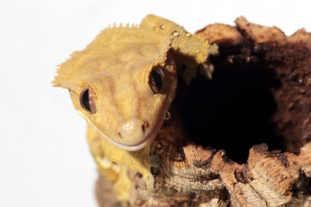 crested gecko: Portrait of a new Caledonian crested gecko (Rhacodactylus ciliatus) wet by water drops on white