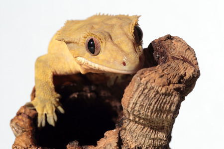 crested gecko: Portrait of a new Caledonian crested gecko (Rhacodactylus ciliatus) on a branch on white