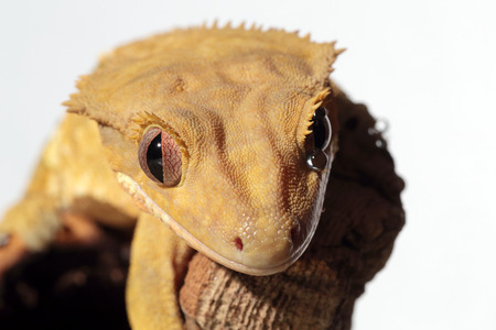 crested gecko: Portrait of a new Caledonian crested gecko (Rhacodactylus ciliatus) with a water drop under the eye, white