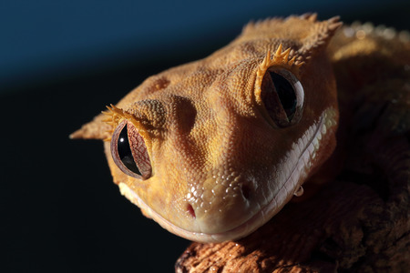 crested gecko: Portrait of a new Caledonian crested gecko (Rhacodactylus ciliatus) on dark  Stock Photo