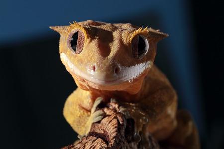 Funny portrait of a new Caledonian crested gecko (Rhacodactylus ciliatus) on dark