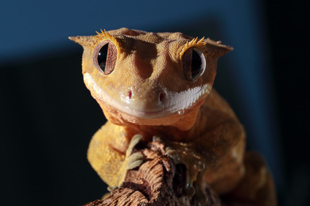 crested gecko: Funny portrait of a new Caledonian crested gecko (Rhacodactylus ciliatus) on dark