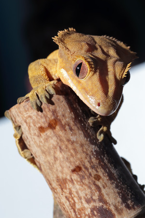 crested gecko: A new Caledonian crested gecko (Rhacodactylus ciliatus) climbing a bamboo cane Stock Photo