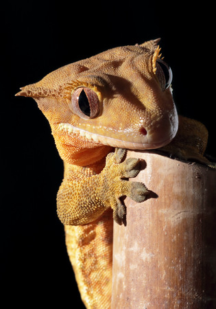 crested gecko: A new Caledonian crested gecko (Rhacodactylus ciliatus) clinging on a bamboo cane