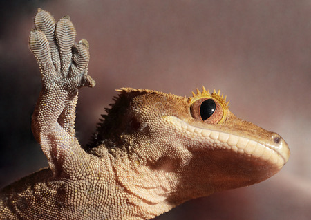 crested gecko: A new Caledonian crested gecko (Rhacodactylus ciliatus) from the bottom clutching to a glass