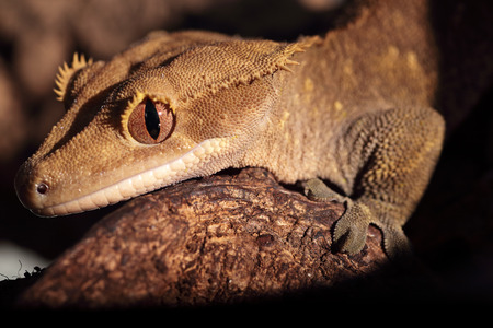 crested gecko: Closeup of a new Caledonian crested gecko (Rhacodactylus ciliatus) on a branch