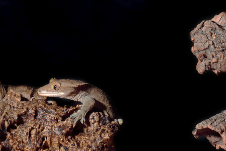crested gecko: A new Caledonian crested gecko (Rhacodactylus ciliatus) landing to a branch