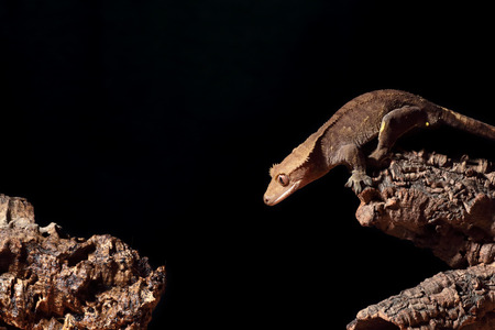 crested gecko: A new Caledonian crested gecko (Rhacodactylus ciliatus) ready to jump Stock Photo