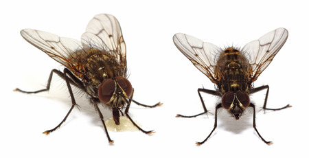 A couple of house flies (common fly) isolated on white photo