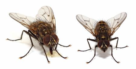 Een paar van huisvliegen (gemeenschappelijke vliegen) geïsoleerd op wit