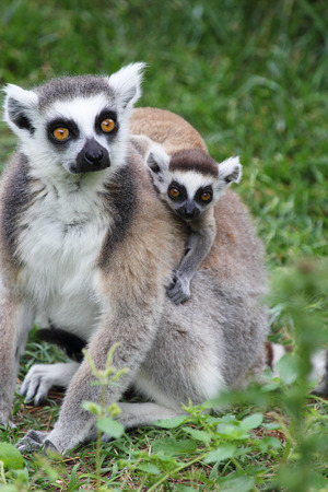 A mother ring-tailed lemur (Lemur Catta) carrying a baby on the back photo