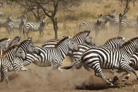 Een kudde van gemeenschappelijke zebra's (Equus Quagga) gallopping in Serengeti National Park, Tanzania