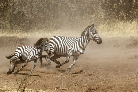 A baby and a mother common zebras (Equus Quagga) gallopping in Serengeti National Park, Tanzania