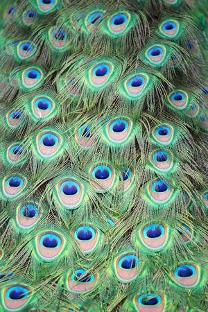 pavo: Closeup of tail feathers peacock (Pavo cristatus)