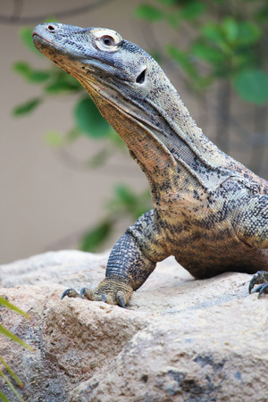 A huge Komodo dragon (Varanus komodoensis) on a rock. This lizard is a large monitor from Indonesian islands