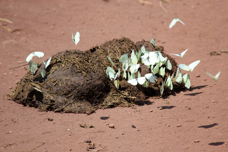 A pile of excrement from a large african mammal covered by white butterflies, a strong symbol of regeneration
