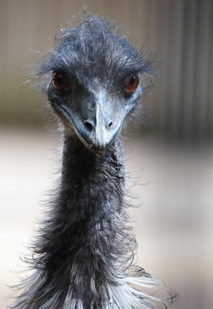 Portrait of a emu (Dromaius novaehollandiae), the largest bird native to Australia