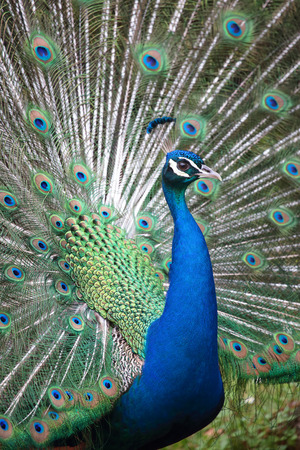 pavo cristatus: Portrait of an indian peafowl (Pavo cristatus) with its tail opened
