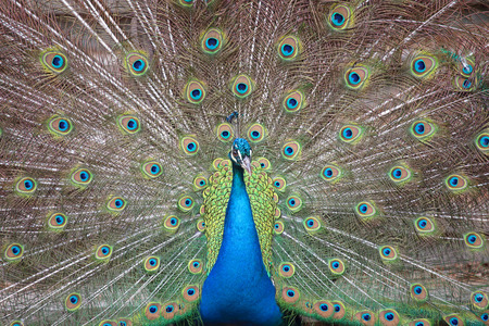 Portrait of an indian peafowl (Pavo cristatus) with its tail opened photo